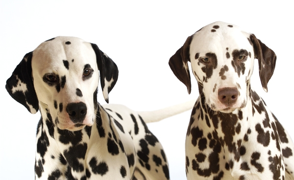 dalmatian spot color indesign print